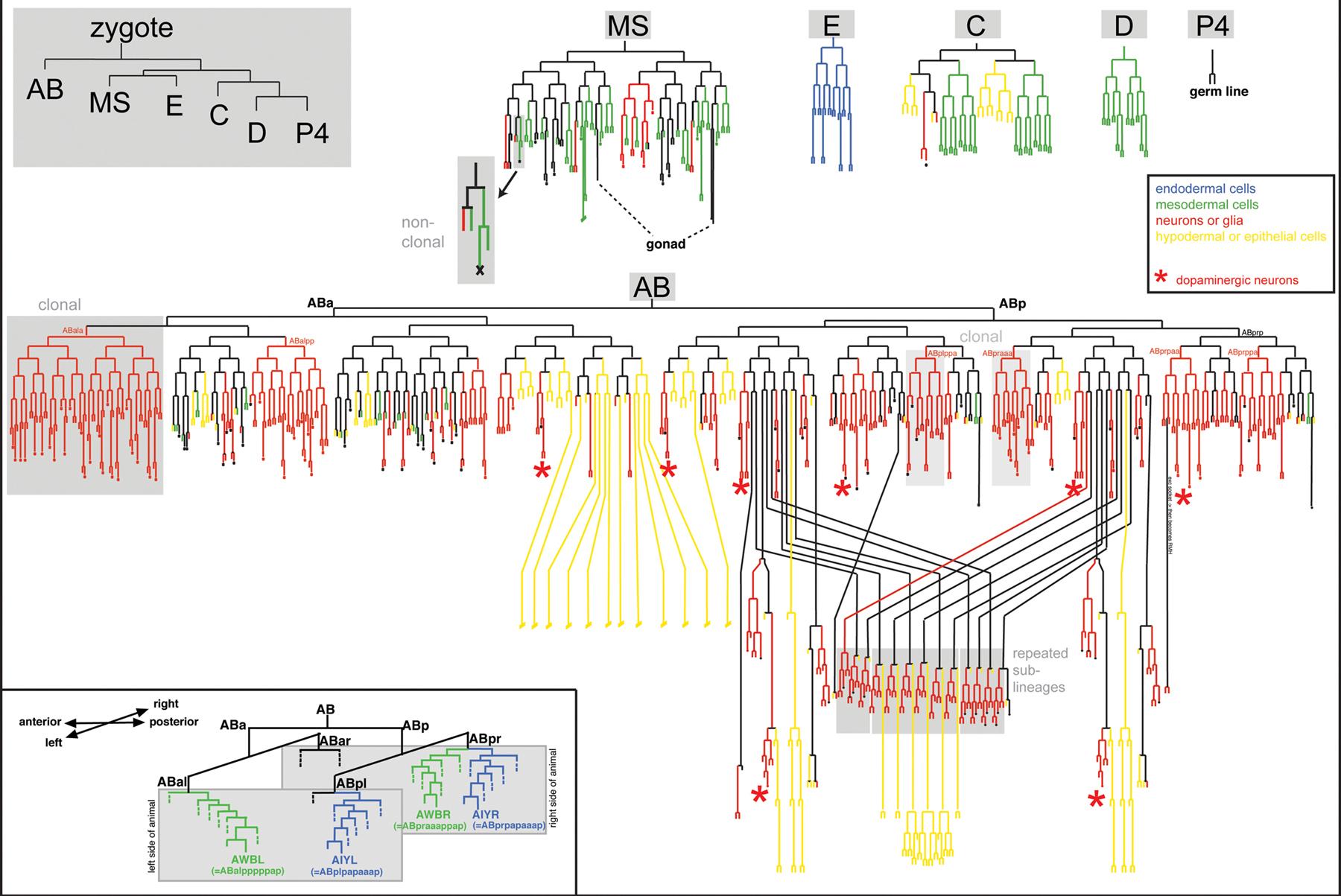 Diagram  Wiring Diagram C Elegans Worm Wiring Diagram
